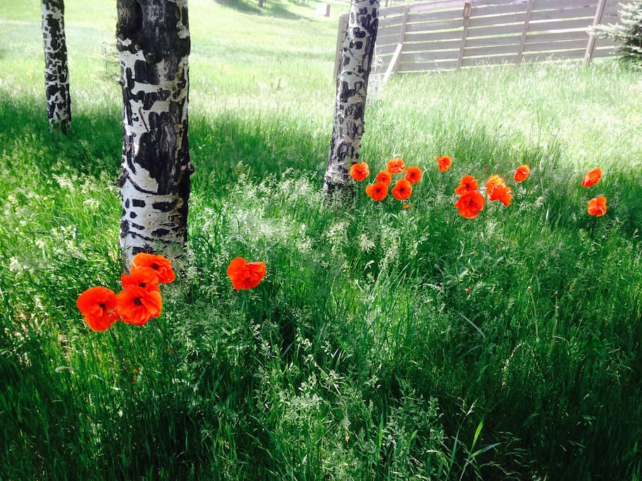 Poppies near the aspens.