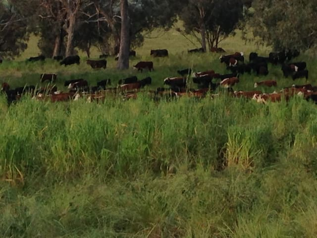Cattle grazing. Farm tour available on request 1 to 2 hours