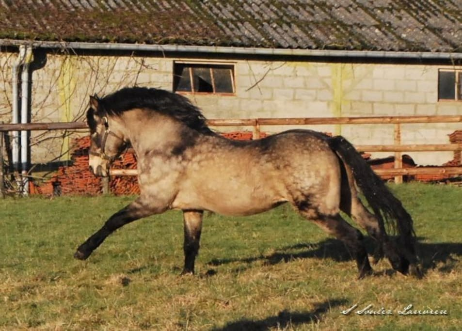 Our best known Connemara stallion Templebready Fear Bui
