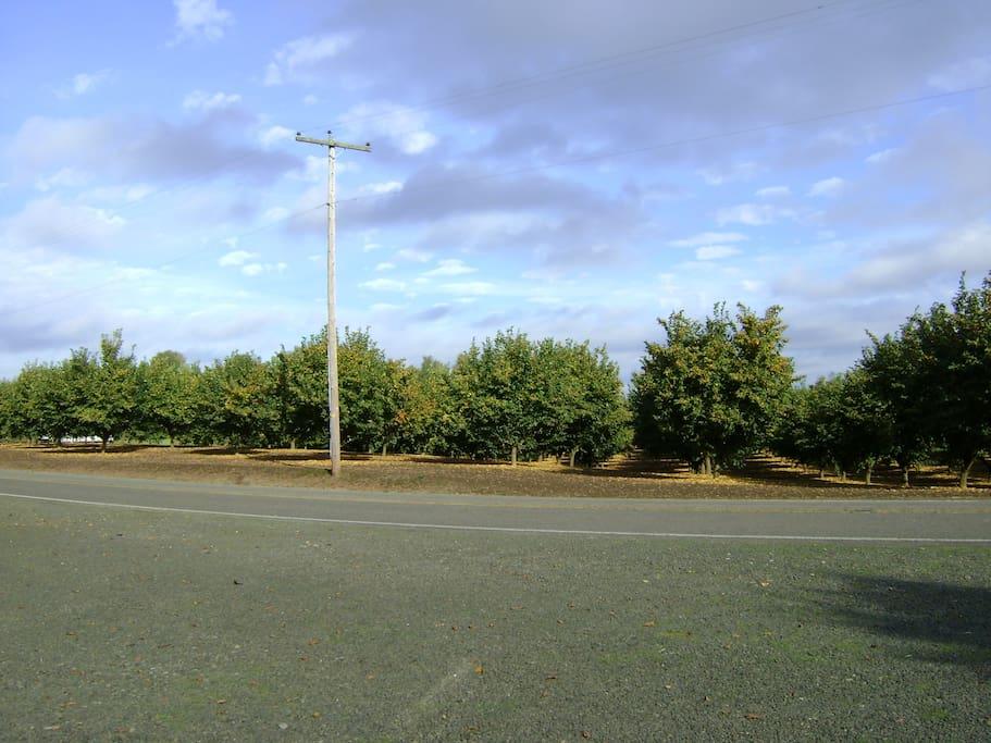 Hazelnut orchard across the road
