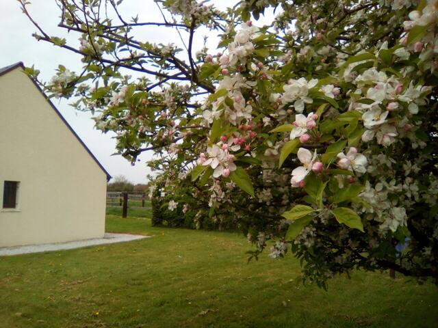 Pommiers en fleurs, en attendant les pommes...