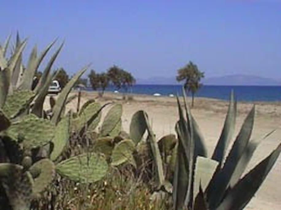 exotic cactus plantation on mavrovouni beach