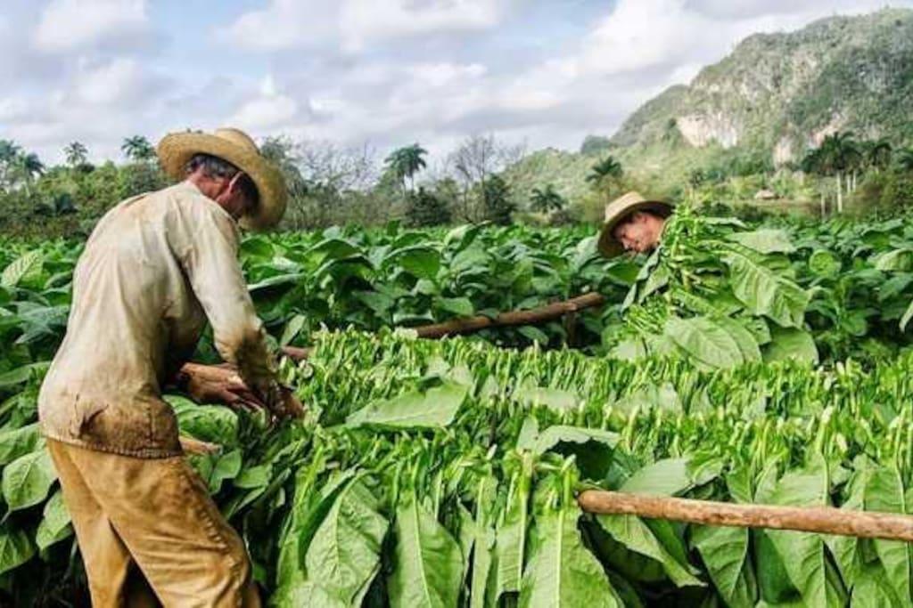 Excurciones al sembrado y fabrica de tabaco