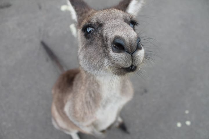 30 minutes by car: The Cardinia Reservoir Park hosts many native Australian Wildlife running free in open air. Be sure to visit the Kangaroo Viewing Trail!