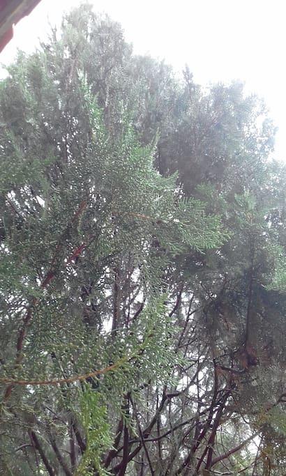 Essa foto mostra a visão do Pinheiro de frente para a sacada do apto. Ao se sentar para relaxar na sacada, você se sente na floresta, pois o pinheiro embeleza a paisagem do lado direito da sacada.