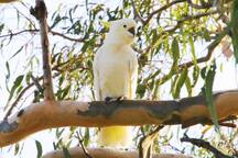 One of our local visitors: a Major Mitchell Cockatoo