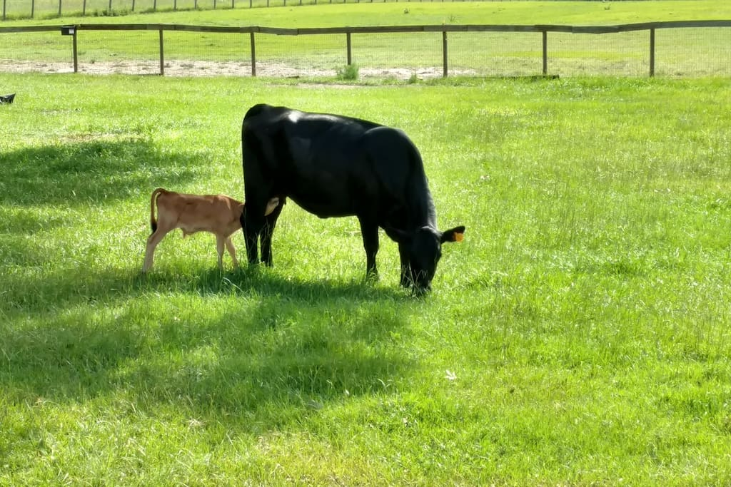 Youngest calf.