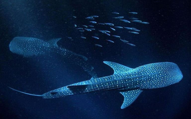 Check with us to see if the season is on for the magnificent whale shark safari.