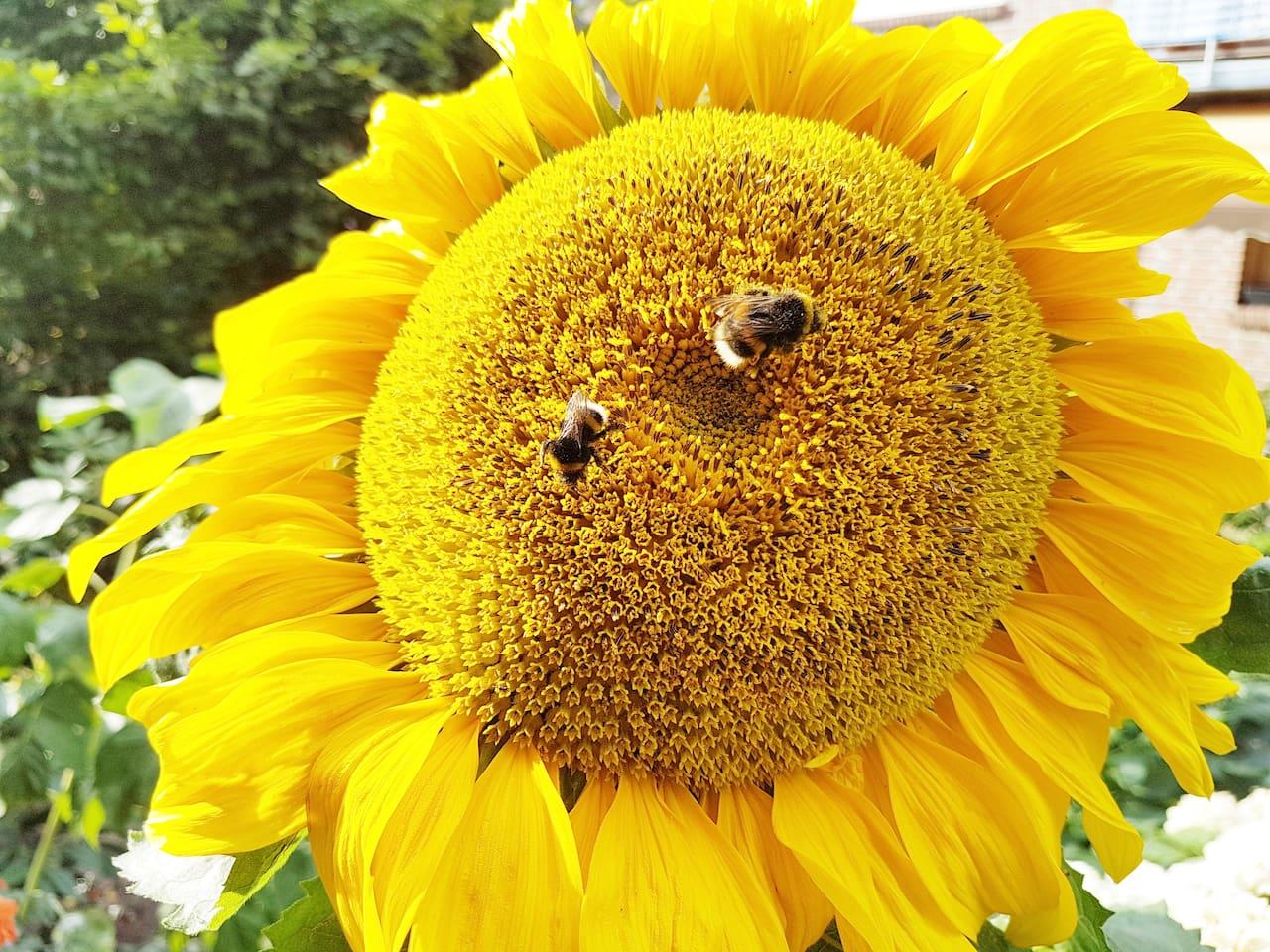 Einfach Ankommen entspannen und sich wohlfühlen , wie die beiden Hummeln auf der Sonnenblume in meinen Garten