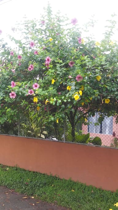 Flores de Allamanda