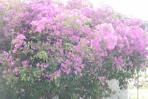 Bluerain flowering