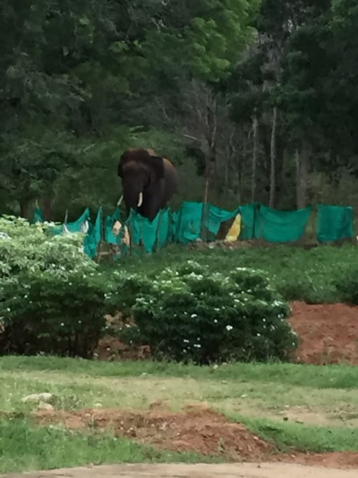 Elephant coming to quench his thirst   inside the farm