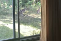 Kangaroos just outside your back window!