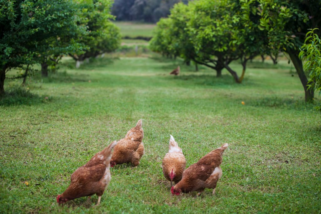 True free range chickens.