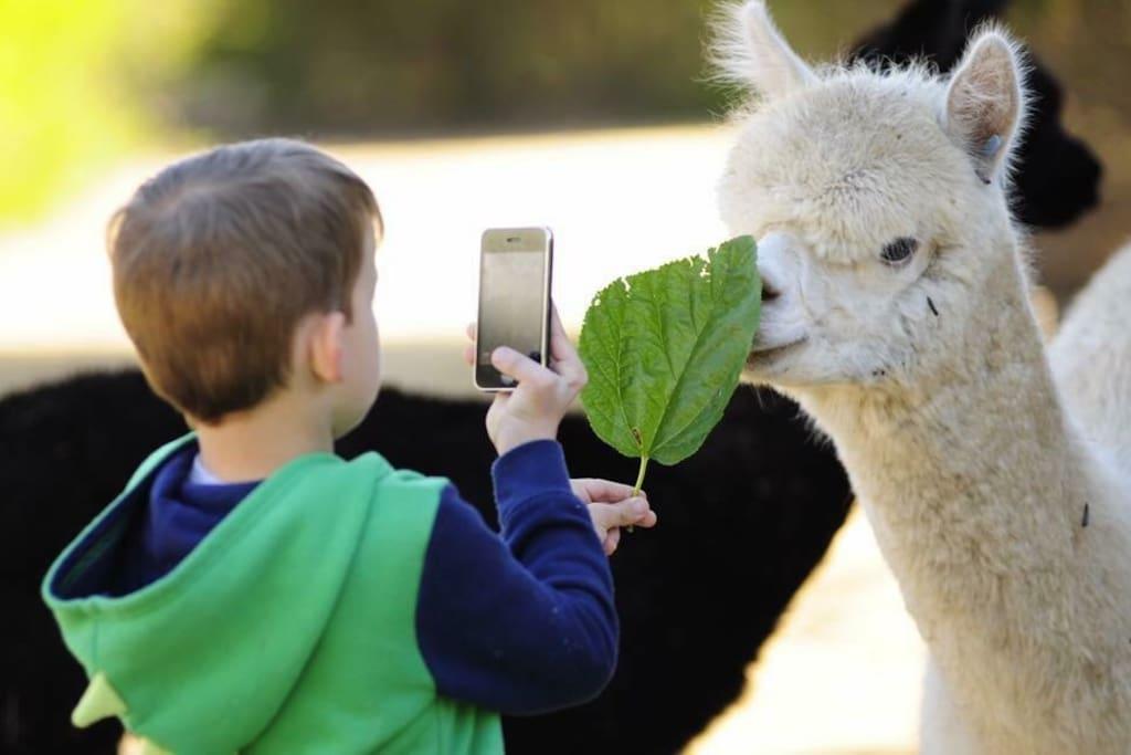 photos with the alpacas