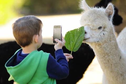 Mamoes country cottage alpaca farm stay b & b
