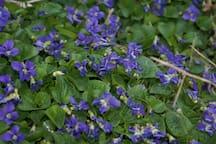 Wild violets.