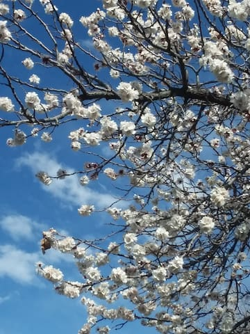 Apricot Tree in Bloom