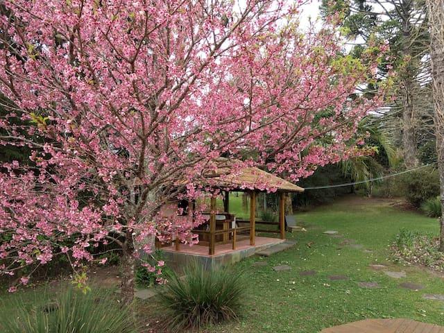 Agosto de 2018 - Floração da Cerejeira Ornamental . Todas as épocas do ano temos flores pelo sítio .