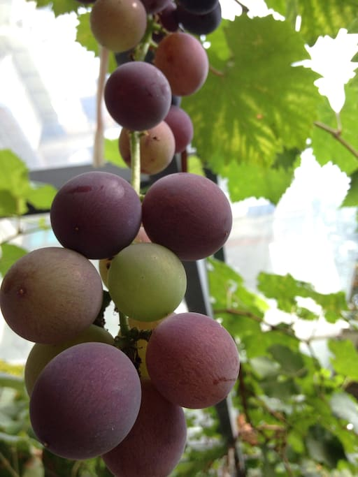 八月院里的葡萄
