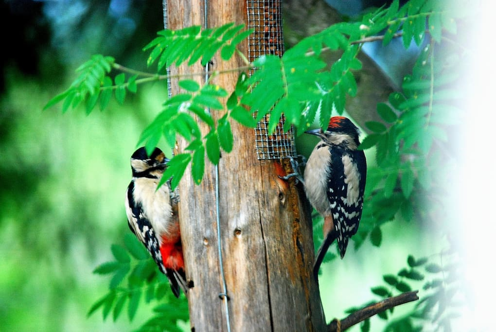 Woodpeckers can be seen outside cottage and at tearoom close by.