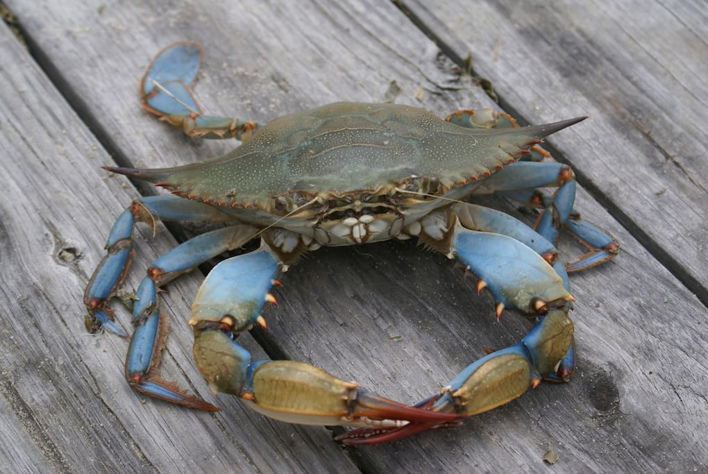 Enjoy yummy blue crabs
