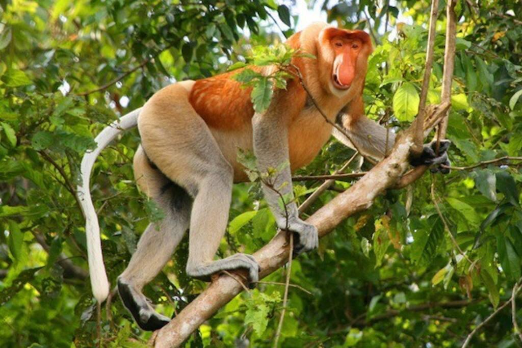 Attraction - Proboscis Monkey