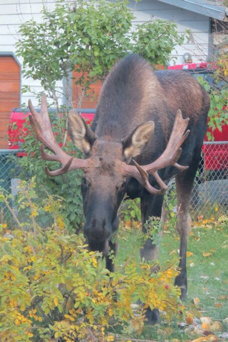 Neighborhood Moose!