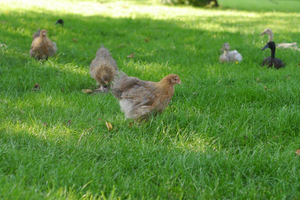 freilaufende Hühner und Laufenten