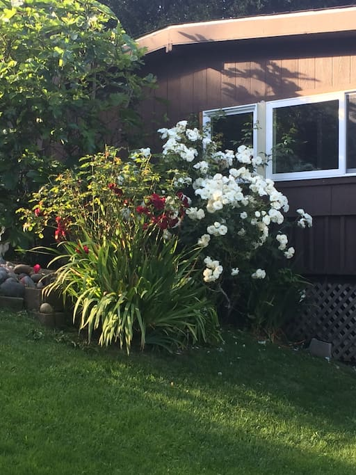 roses next to cottage