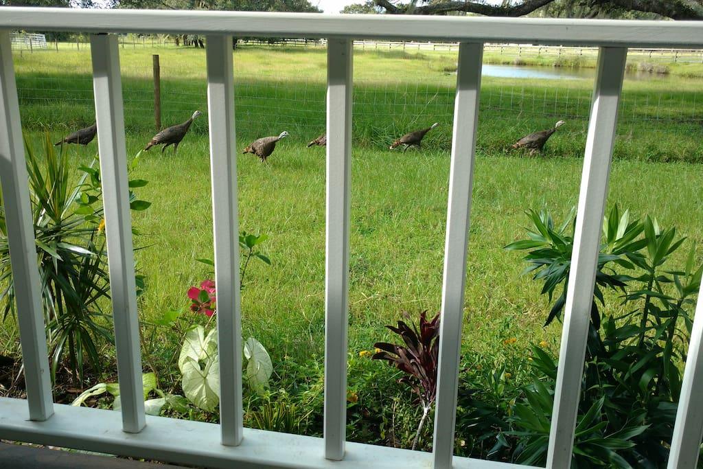 Wild turkey visit regularly.