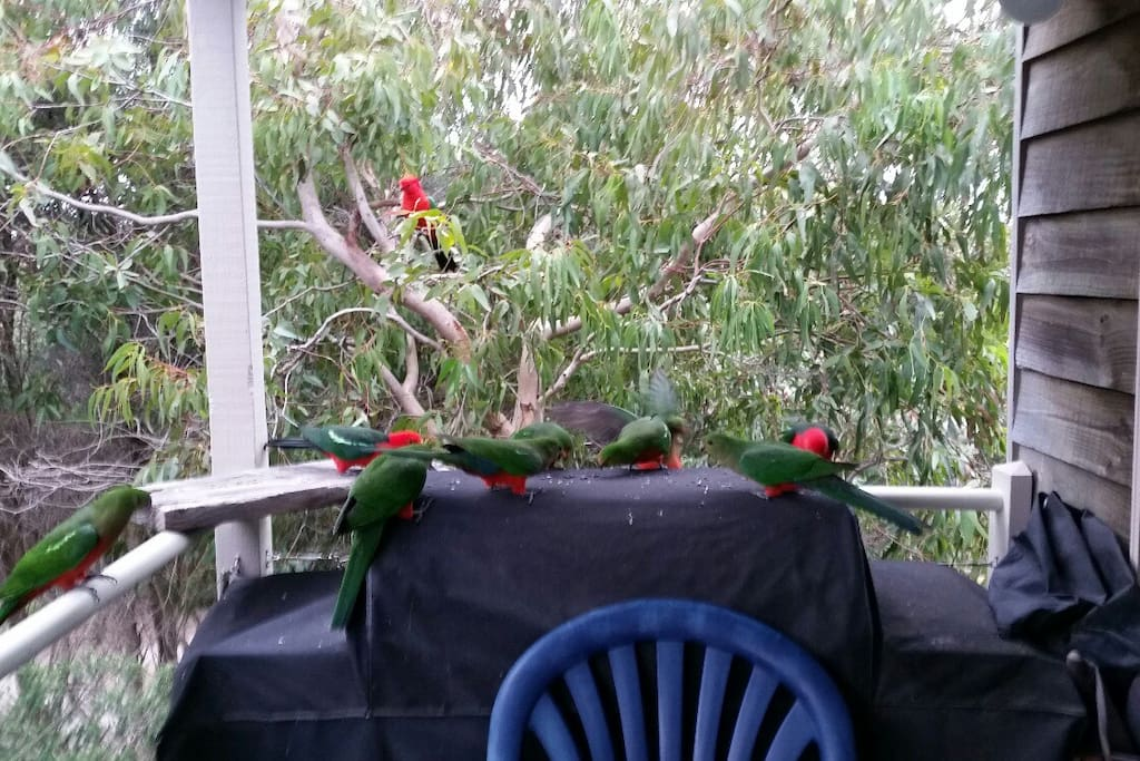 some of the king parrots who will eat out of your hand.