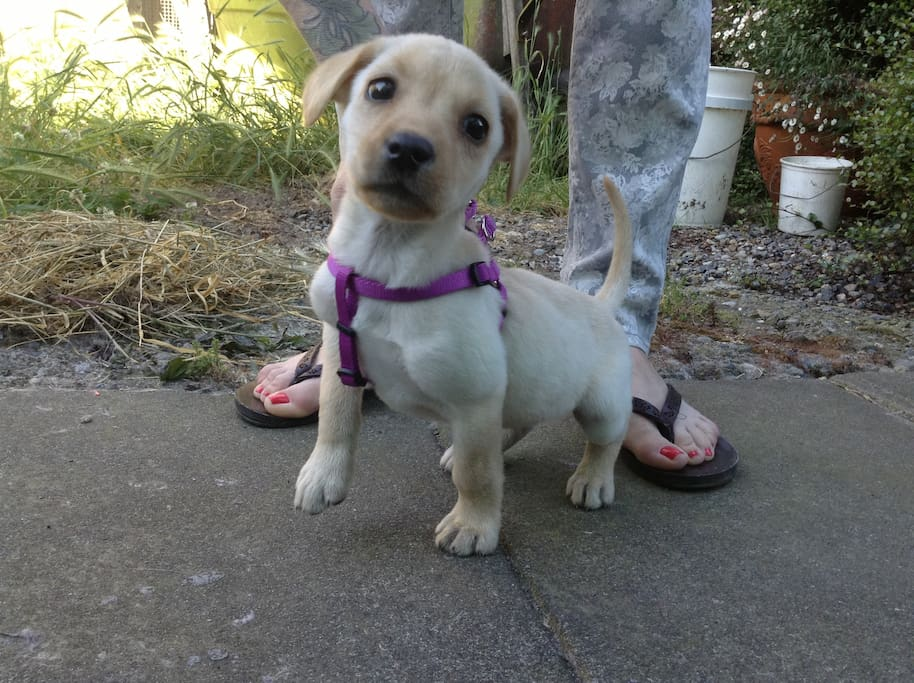 Jackx joined my zoo in 2013, she is a yellow lab, and was the runt of her litter...4lbs @ 8 weeks.....