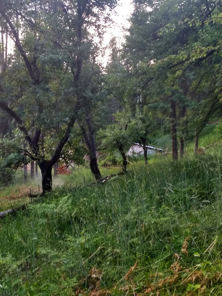 Ancient fruit trees and pig pasture