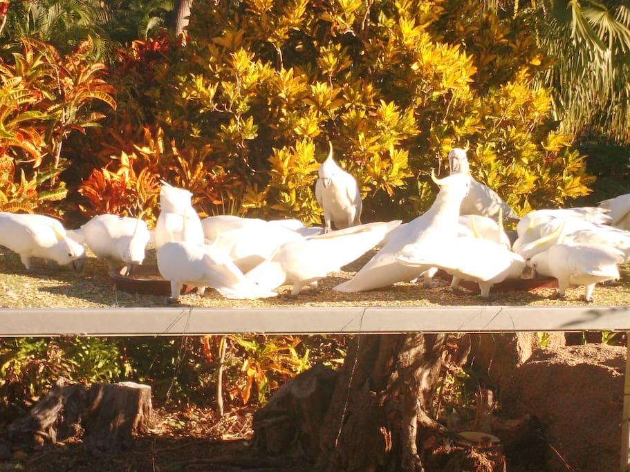 Cockatoo feeding every day