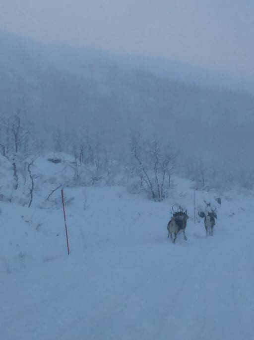 Pass opp for reindsyr om vinteren og sauer om sommeren!