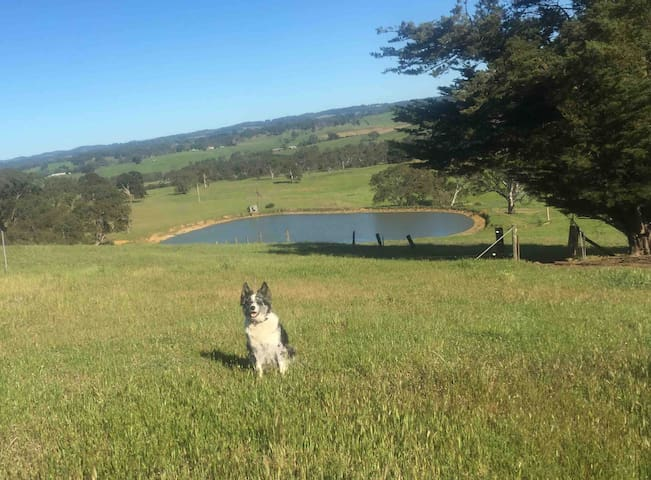 Wiley our farm dog overlooking beautiful views of Charleston and out as far as Lobethal