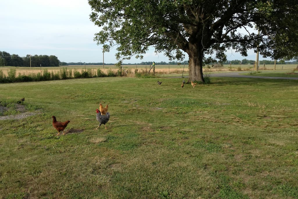 More chickens in the backyard