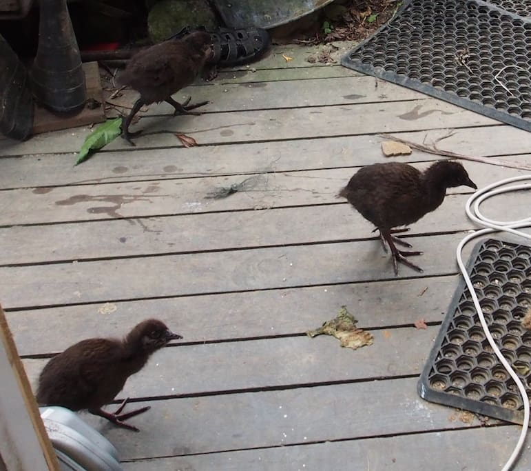 Weka chicks at the back door of the main house