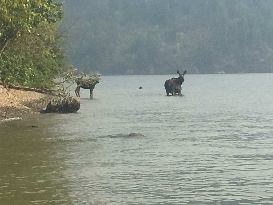 July 2018  Mamma Moose and baby early am on the lake