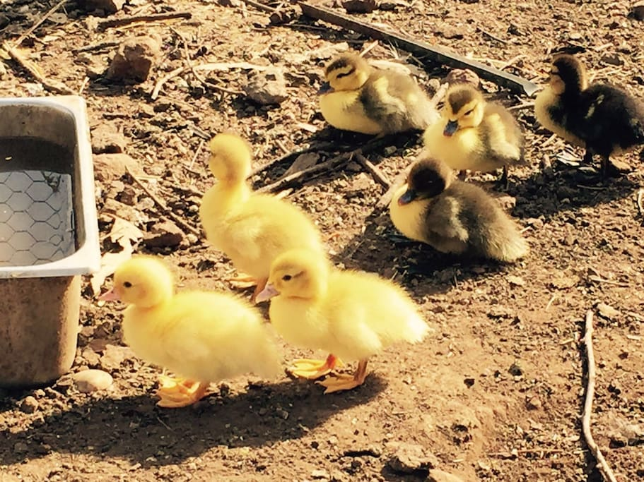 new born ducklings