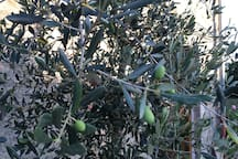 un olivier..de Corse