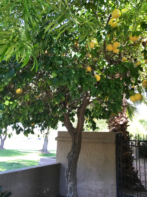 Our very own grapefruit tree!