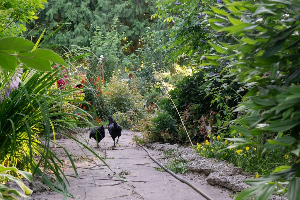 We have a large family of rare birds on the premise, these all black chickens are Pluto (rooster) and Noir (hen).  Even their organs are black.  But don't try to check that out!