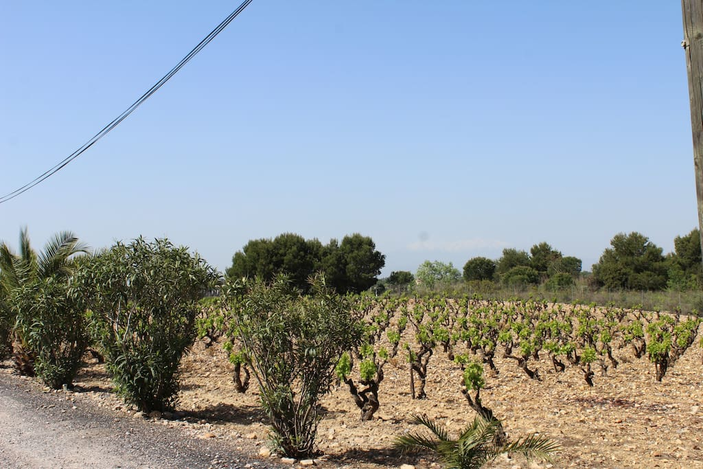 Vu sur les vignes et le Canigou