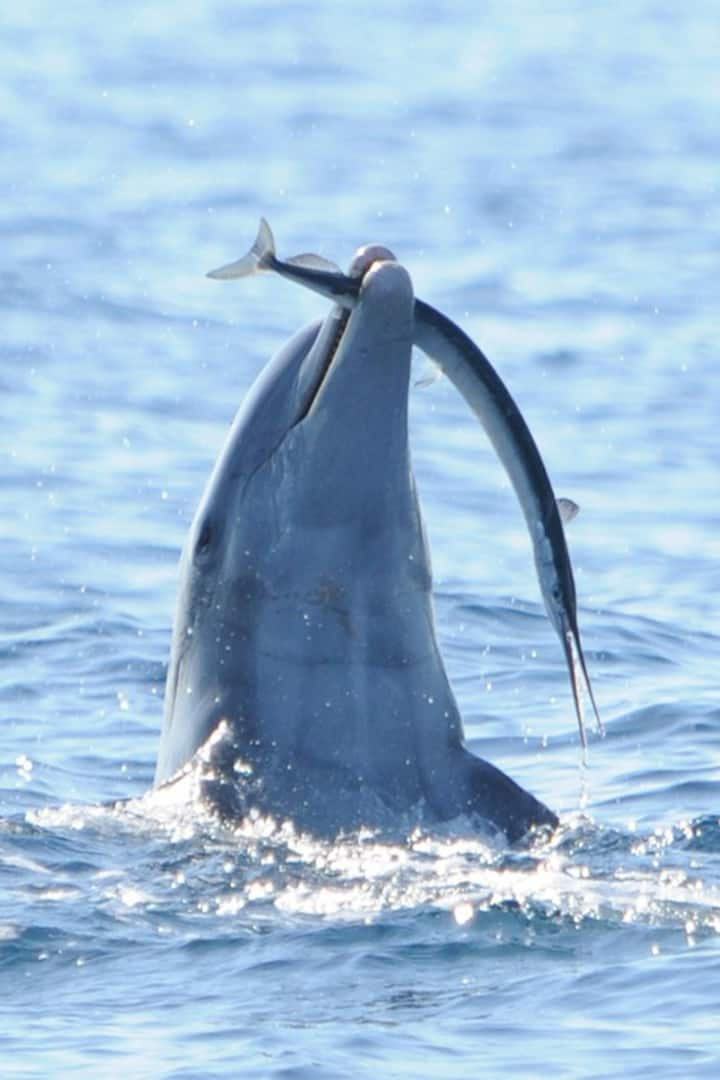 Dolphin showing us their catch