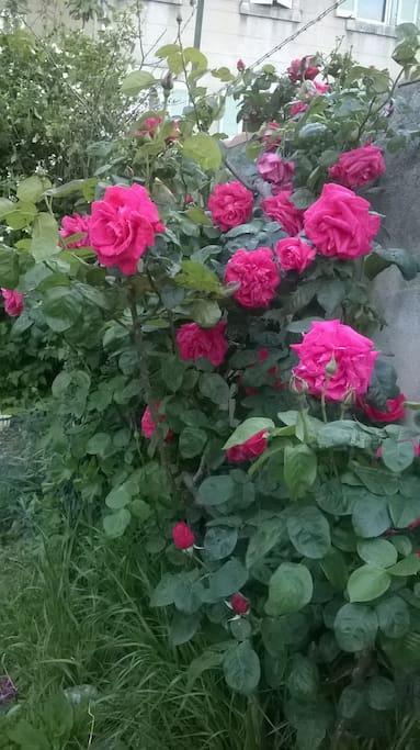 Les roses du jardin !
