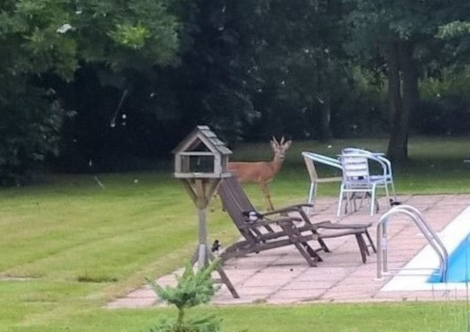 Garden visitors  Doe