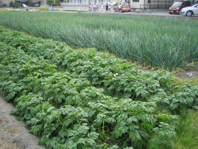 Potato and Onion field