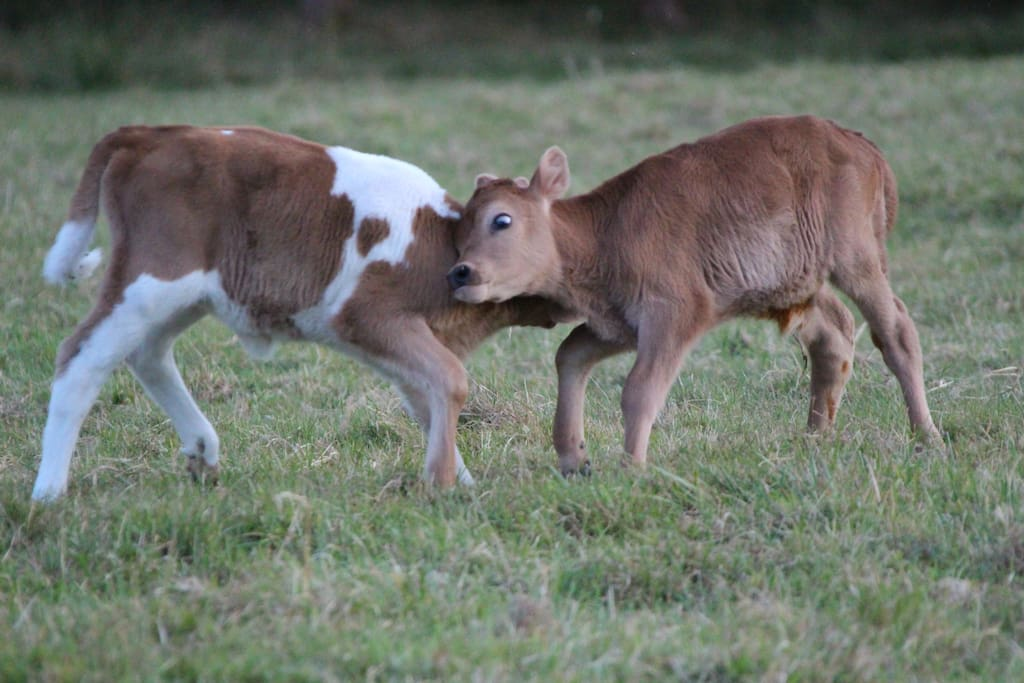 Our two calves playing in the field.